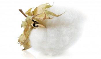 la fleur de coton pour rélisation de tissus. Nous les utilisons pour fabrication de sac coton ou tote bag
